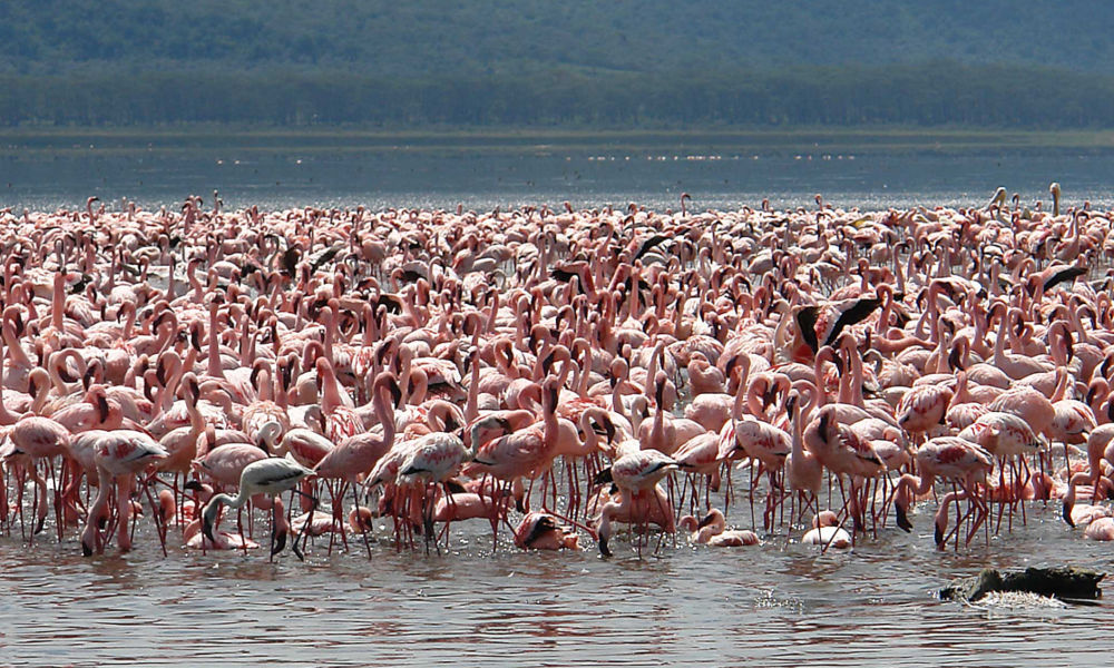 flamingos-at-lake-nakuru