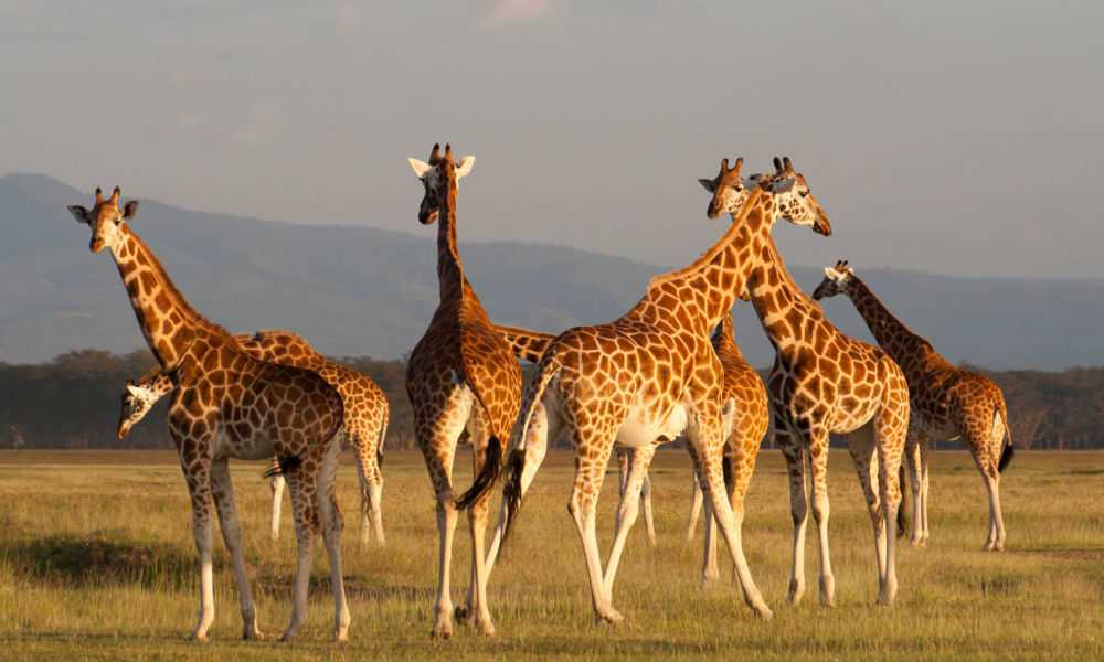 giraffes-near-nakuru-lake